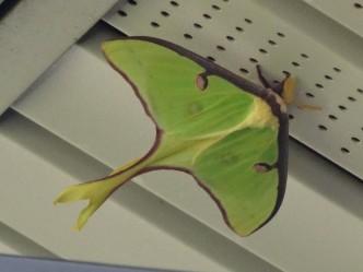 Luna Moth (Actias luna), spring generation