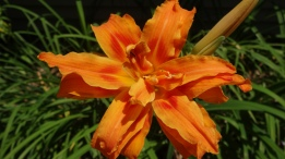 Lily, Lilium, double orange