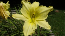 Lily, Lilium, pale yellow