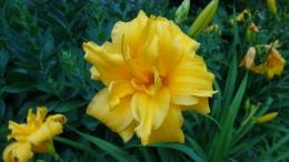 Lily, Lilium, yellow