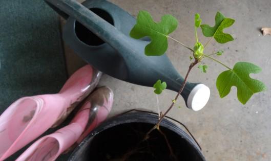 Tulip Poplar for transplanting